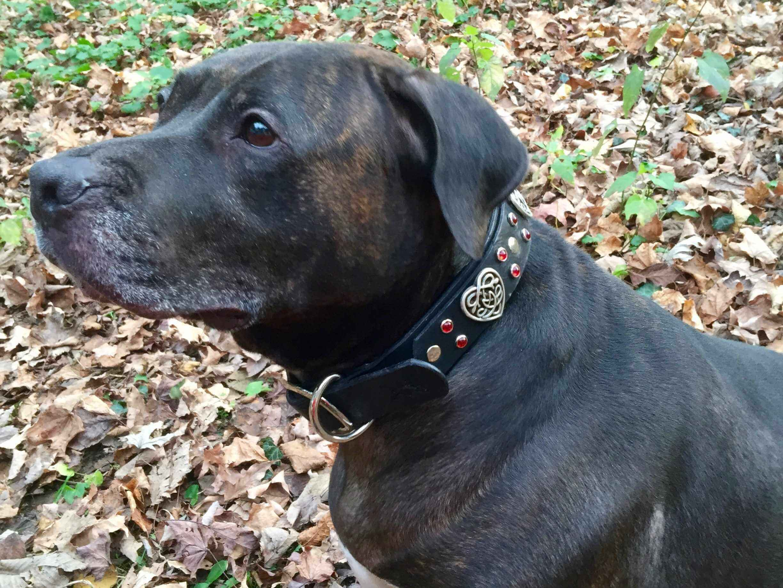 Pit bull wearing custom leather dog collar