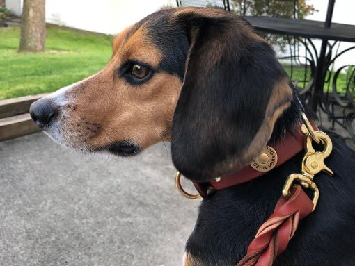 beagle wearing shotgun dog collar