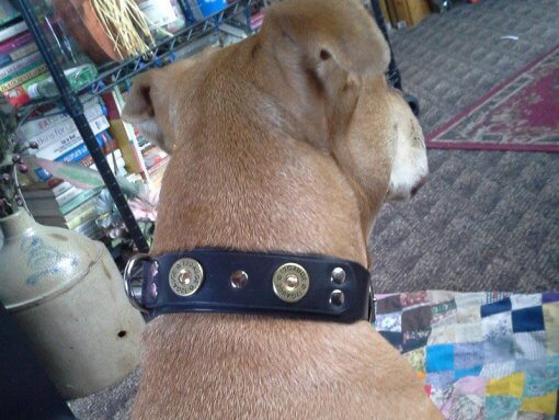 Reggie wearing his custom leather dog collar