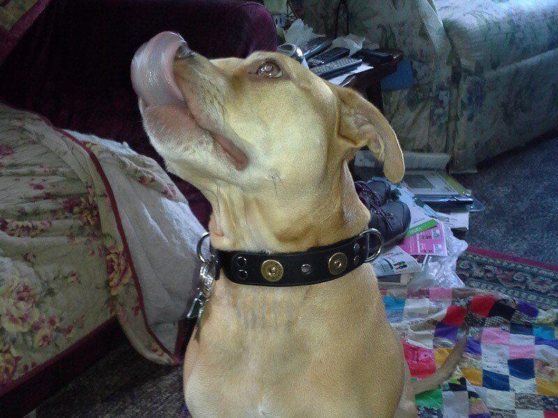 Shotgun dog collar with silver hardware