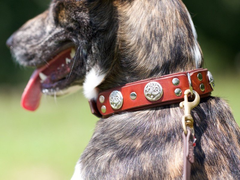Eli wearing Kobi Collars' Dragon Slayer Leather Dog Collar