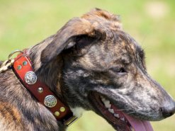Eli wearing Kobi Collars' Dragon Slayer Leather Dog Collar