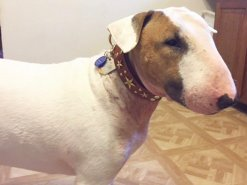 Oliver wearing his Stars n Studs custom leather dog collar