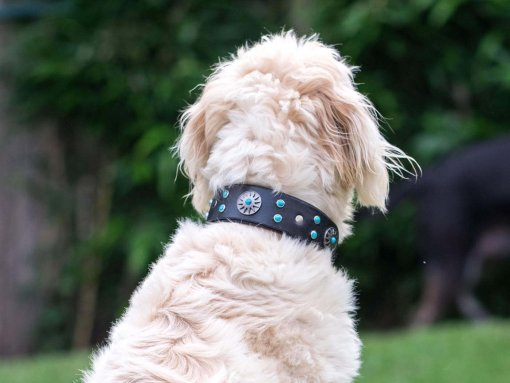 Otis wearing the Surya Leather Dog Collar