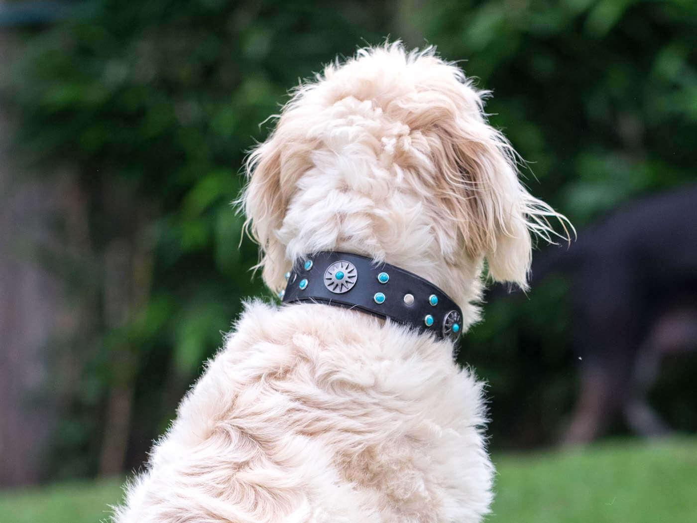 Otis wearing the Surya Leather Dog Collar
