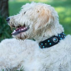 Golden Doodle wearing custom leather dog collar