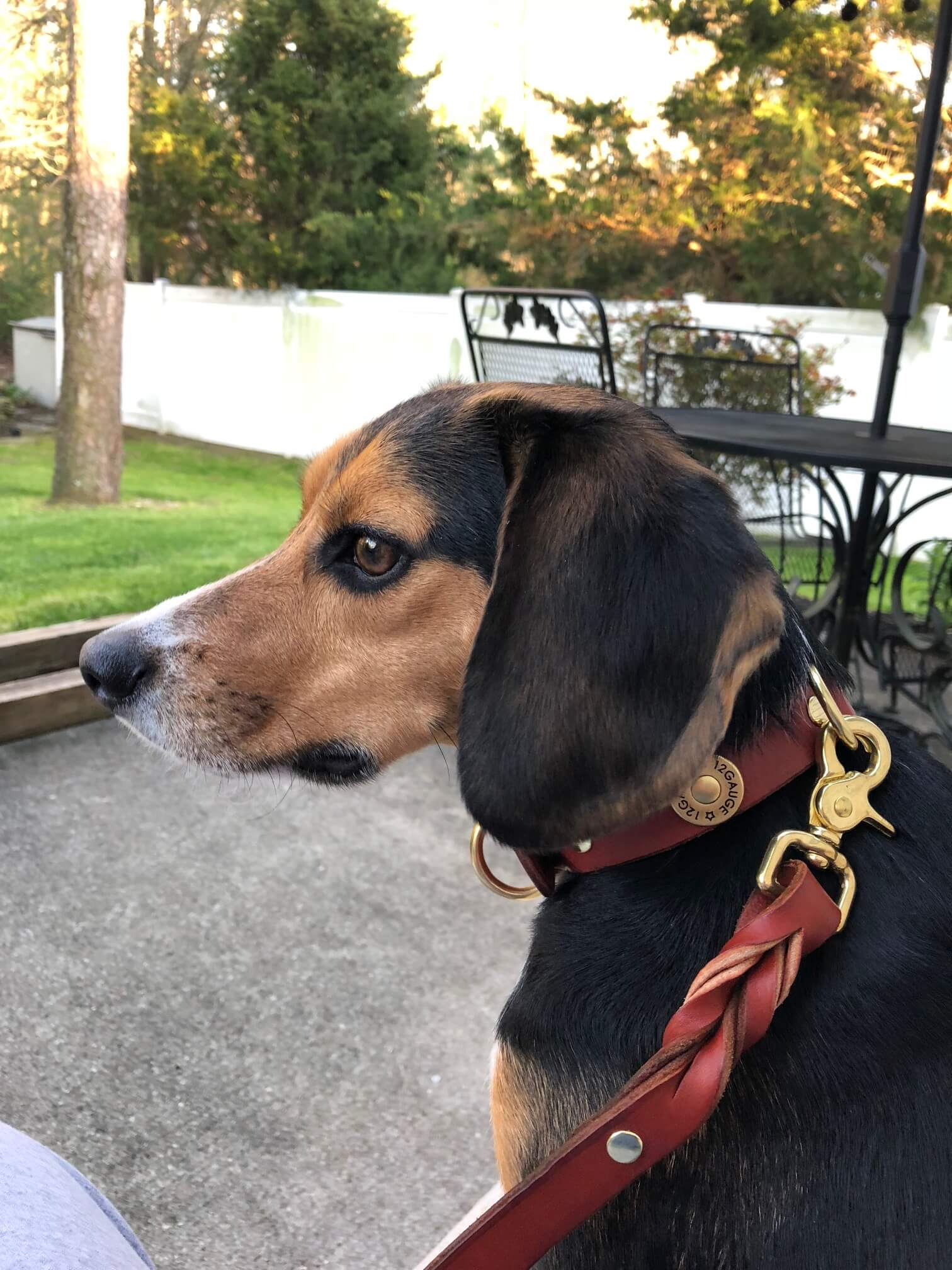 Charlie the beagle wearing his shotgun collar